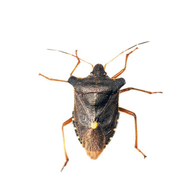"""""""Red-legged Shieldbug, Pentatoma rufipes"""" stock image"""