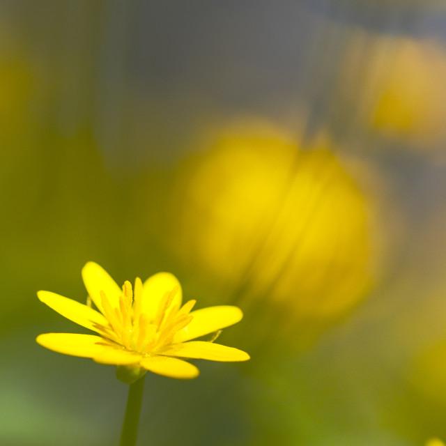 """""""Lesser Celandine, Ranunculus ficaria"""" stock image"""