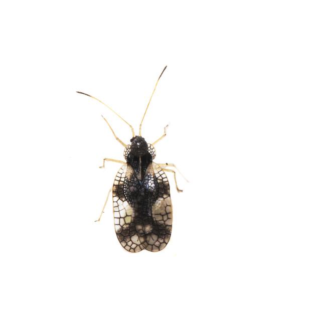 """Andromeda lace bug, Stephanitis takeyai"" stock image"