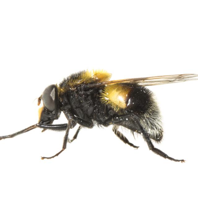 """Bumblebee Hoverfly, Volucella bombylans"" stock image"