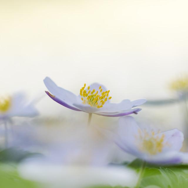 """Wood anemone, Anemone nemorosa"" stock image"