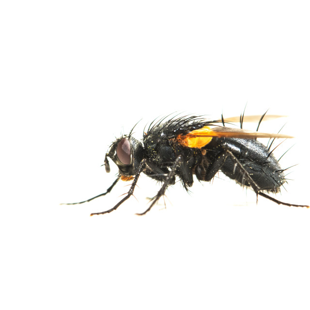 """Zophomyia temula"" stock image"