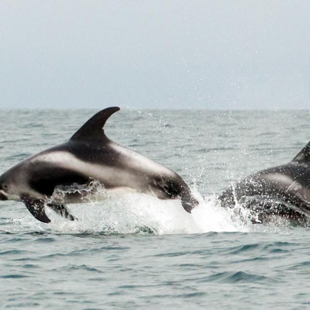 """""""White-beaked Dolphin, Lagenorhynchus albirostris"""" stock image"""