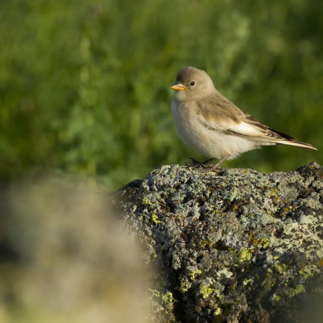 """White-winged Snowfinch, Montifringilla nivalis leucura"" stock image"