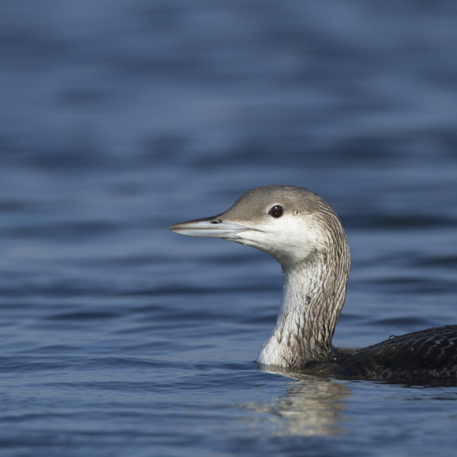 """Black-throated Loon, Gavia arctica"" stock image"