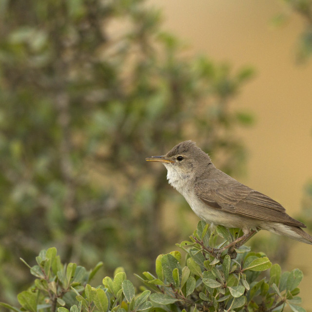"""""""Upcher's Warbler, Hippolais languida"""" stock image"""