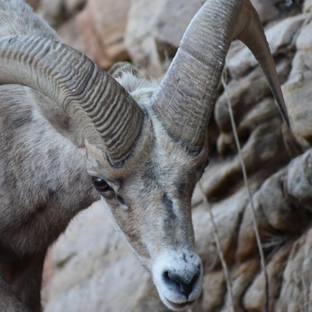 """Big Horn Sheep #5"" stock image"