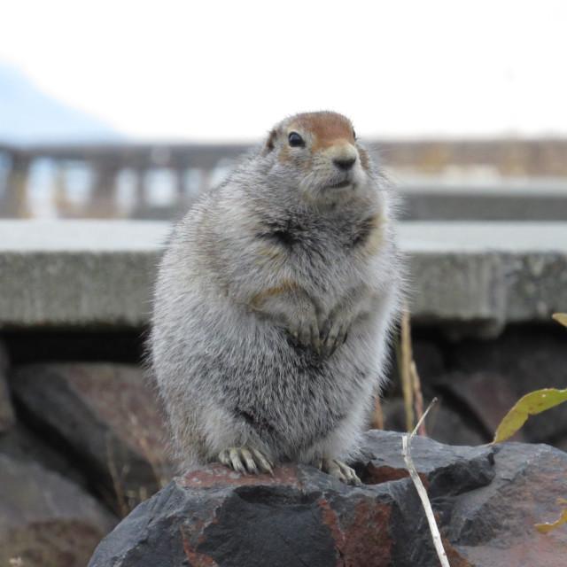 """""""Arctic Ground Squirrel"""" stock image"""