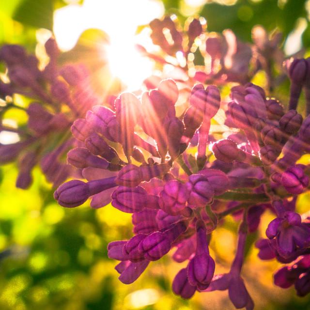 """Lilacs and Sunshine"" stock image"