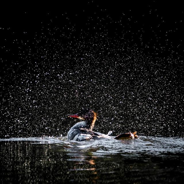 """""""Bathing Hooded Merganser"""" stock image"""