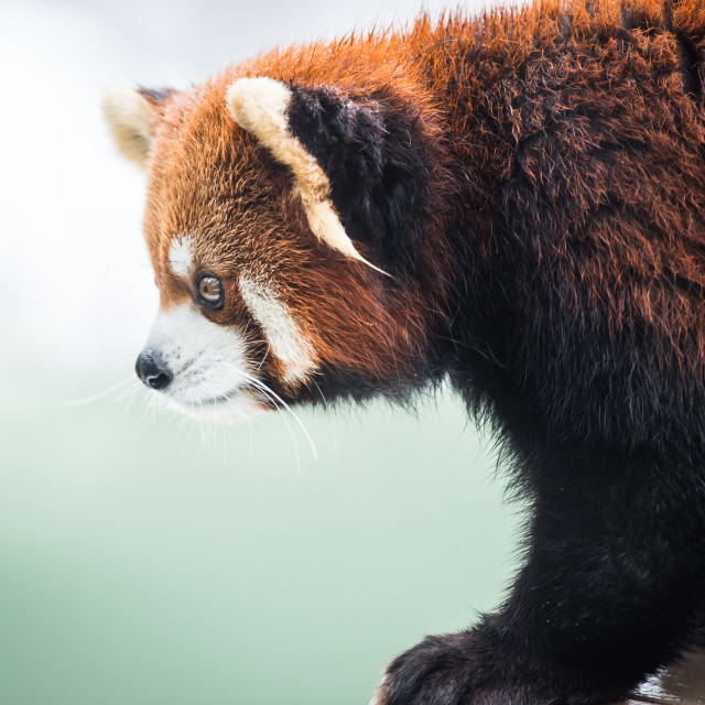 """Red Panda II"" stock image"