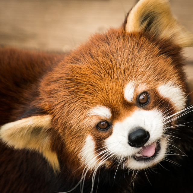 """Red Panda III"" stock image"