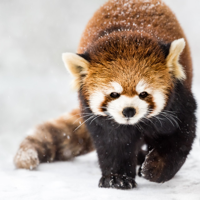 """Red Panda in Snow II"" stock image"