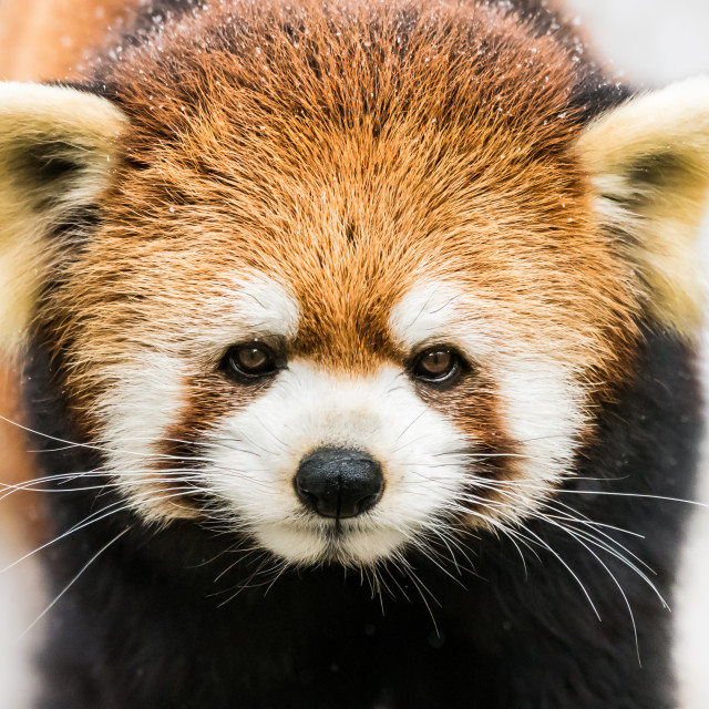 """Red Panda in Snow III"" stock image"