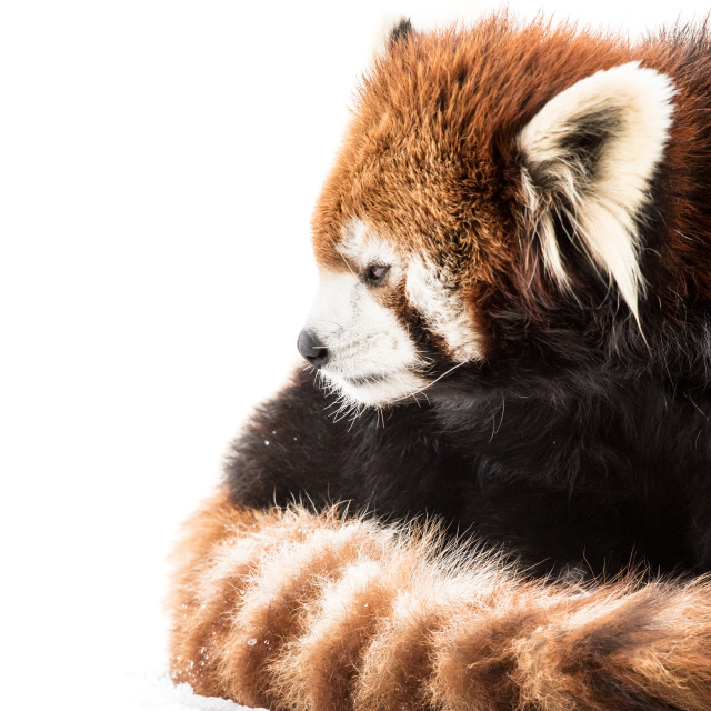 """Red Panda in Snow"" stock image"