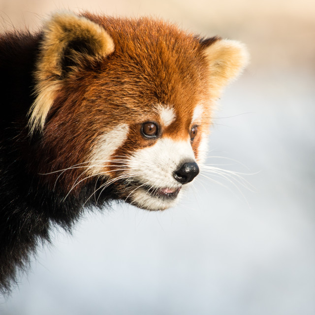 """Red Panda IV"" stock image"