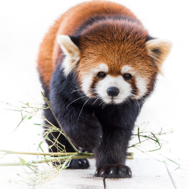 """Red Panda V"" stock image"