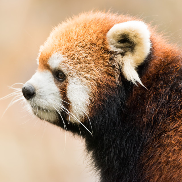 """Red Panda VIII"" stock image"