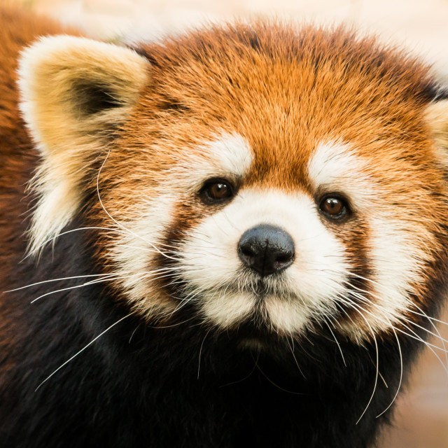 """Red Panda X"" stock image"