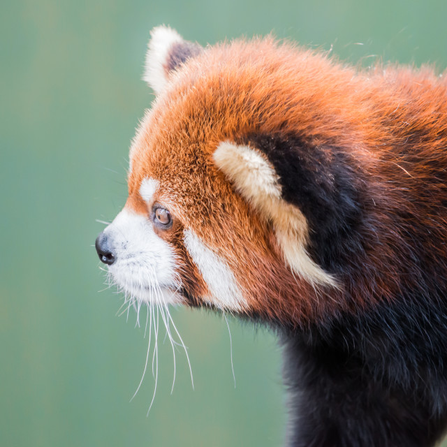 """Red Panda XI"" stock image"