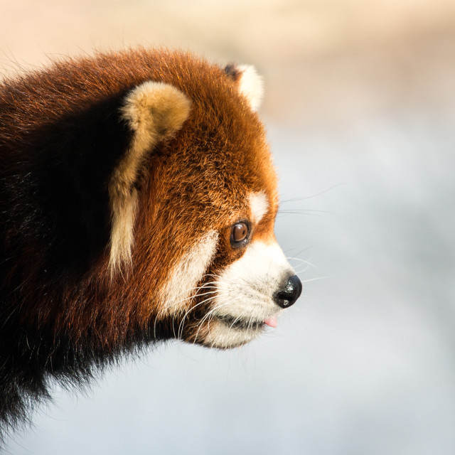 """Red Panda XII"" stock image"