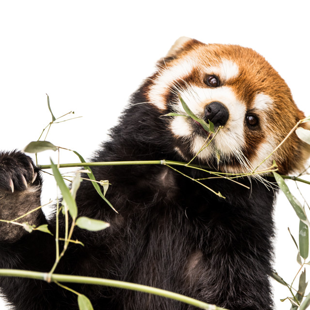 """Red Panda XIV"" stock image"