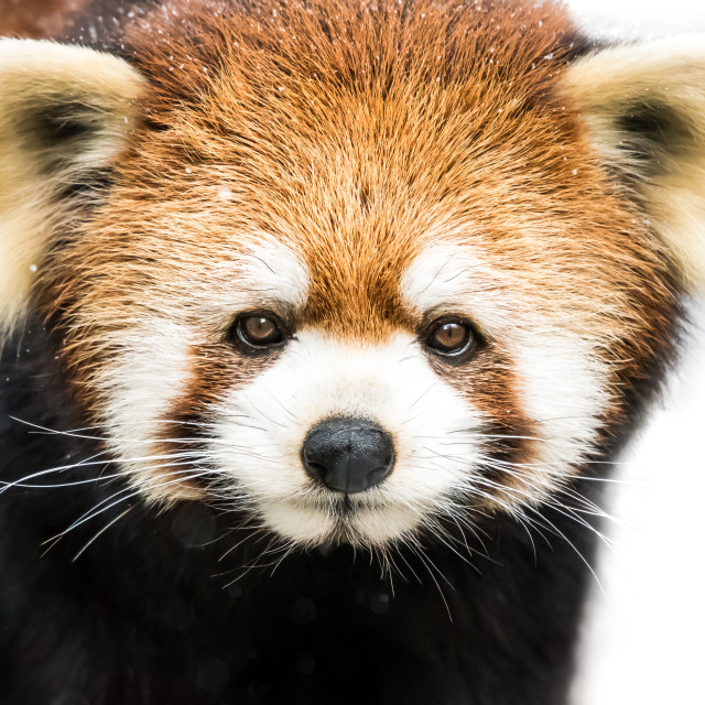 """Red Panda XIX"" stock image"