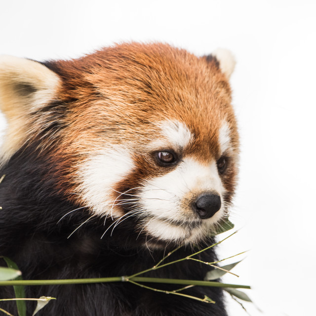 """Red Panda XV"" stock image"