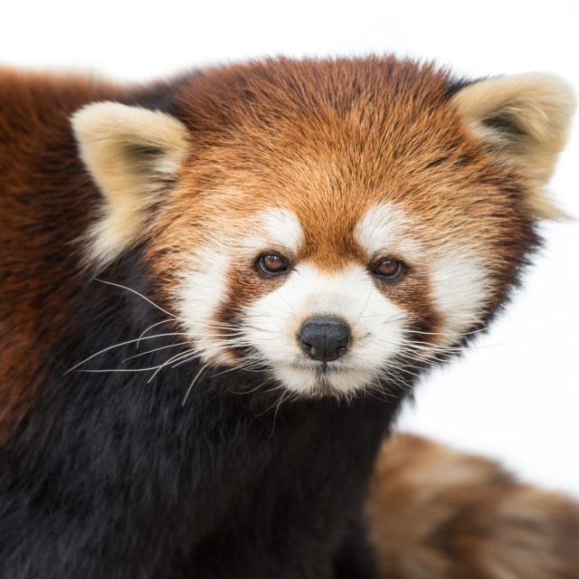 """Red Panda XVI"" stock image"