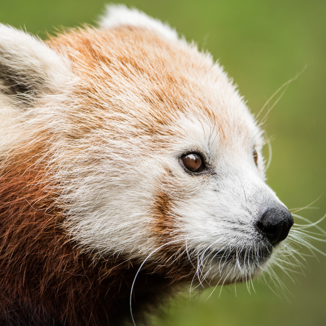 """Red panda XVII"" stock image"