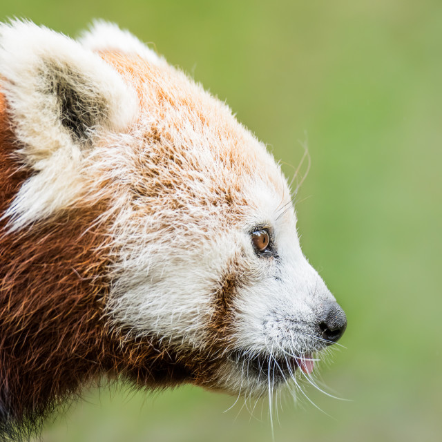 """Red panda XVIII"" stock image"