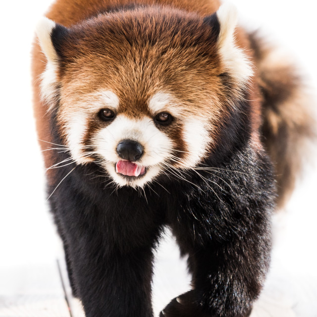"""Red Panda XXI"" stock image"
