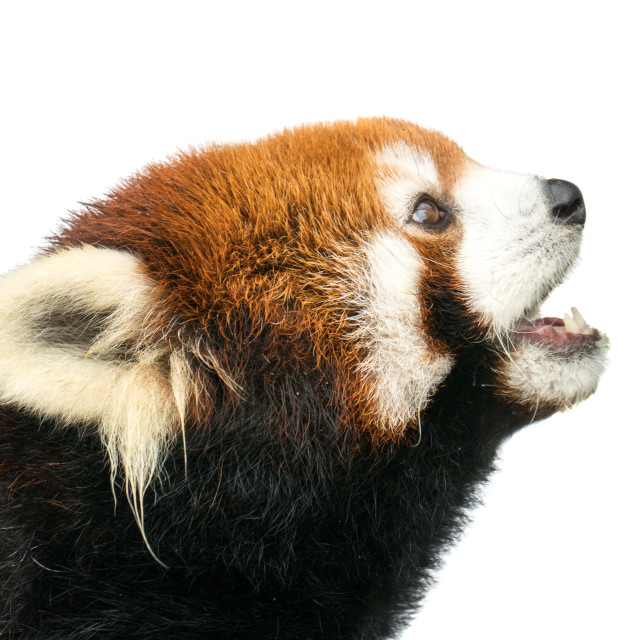 """Red Panda XXII"" stock image"