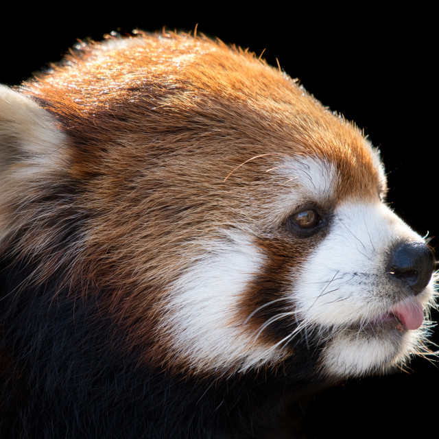 """Red Panda XXIII"" stock image"