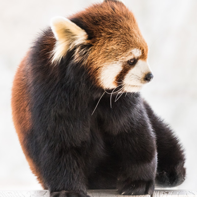 """Red Panda XXIV"" stock image"