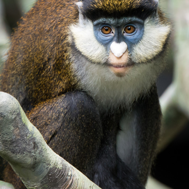 """Schmidt's Spot-Nosed Guenon II"" stock image"