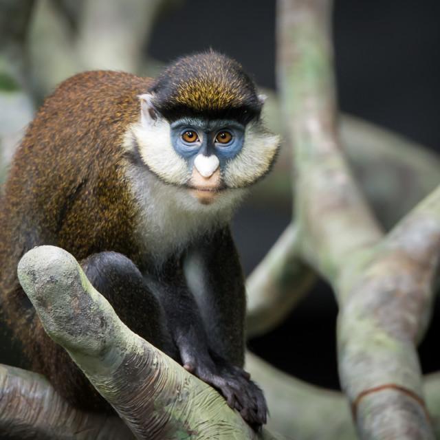 """Schmidt's Spot-Nosed Guenon"" stock image"