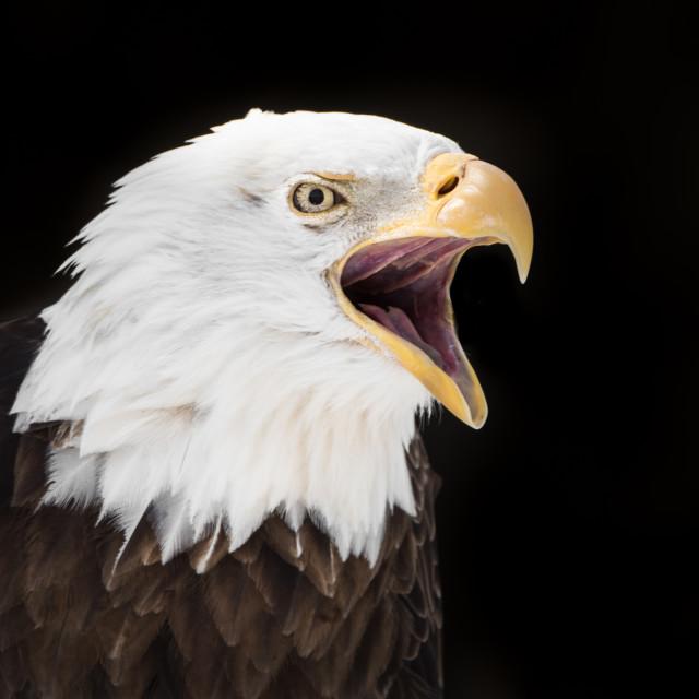 """""""Screeching Bald Eagle II"""" stock image"""