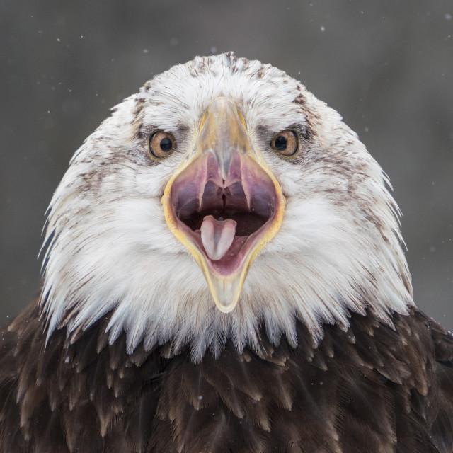 """""""Screeching Bald Eagle III"""" stock image"""