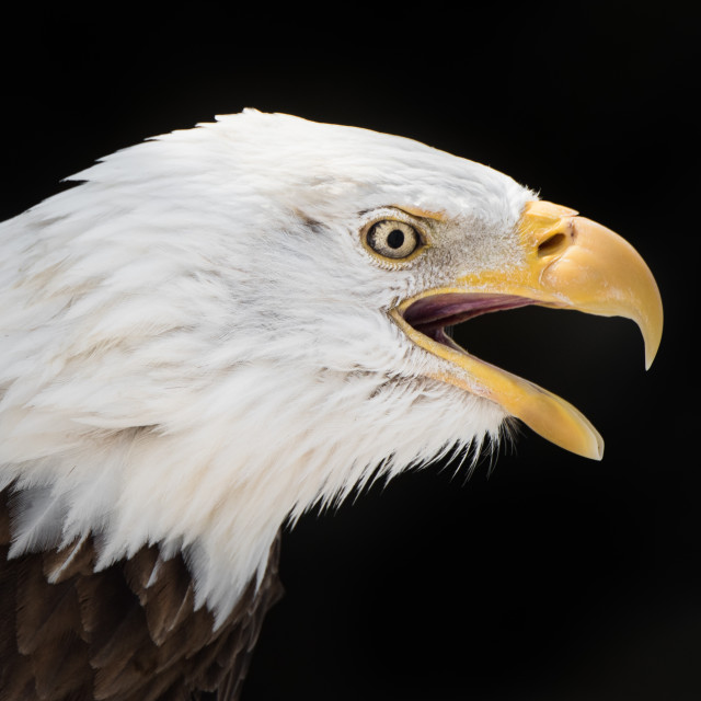 """Screeching Bald Eagle"" stock image"