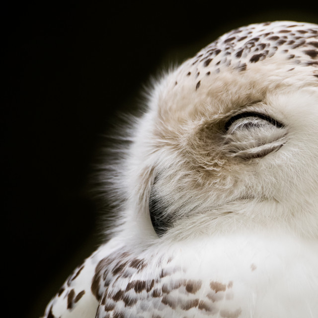 """Sleepy Snowy"" stock image"