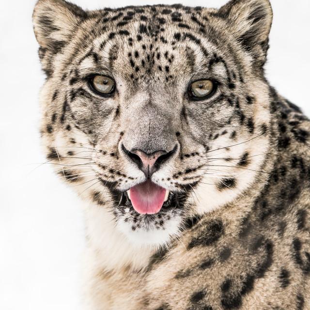 """""""Snow Leopard Closeup II"""" stock image"""