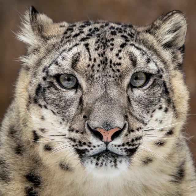 """Snow Leopard Closeup"" stock image"