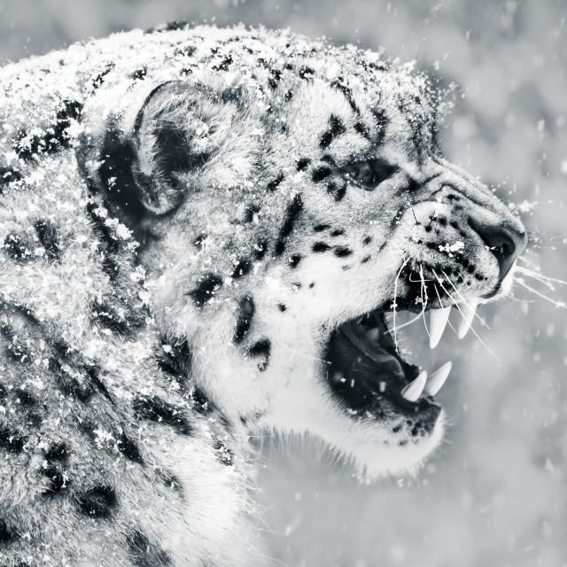 """Snow Leopard In Snow Storm II"" stock image"