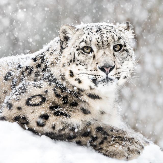 """Snow Leopard In Snow Storm III"" stock image"