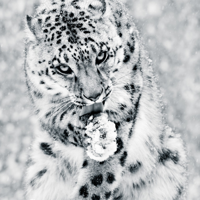 """""""Snow Leopard in Snow Storm IV BW"""" stock image"""