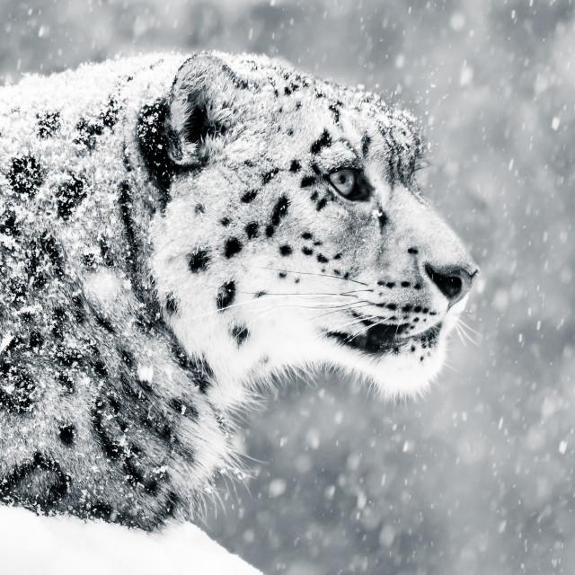 """Snow Leopard in Snow Storm V"" stock image"
