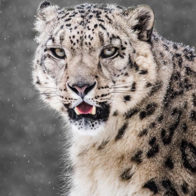 """Snow Leopard in Snow Storm VI"" stock image"