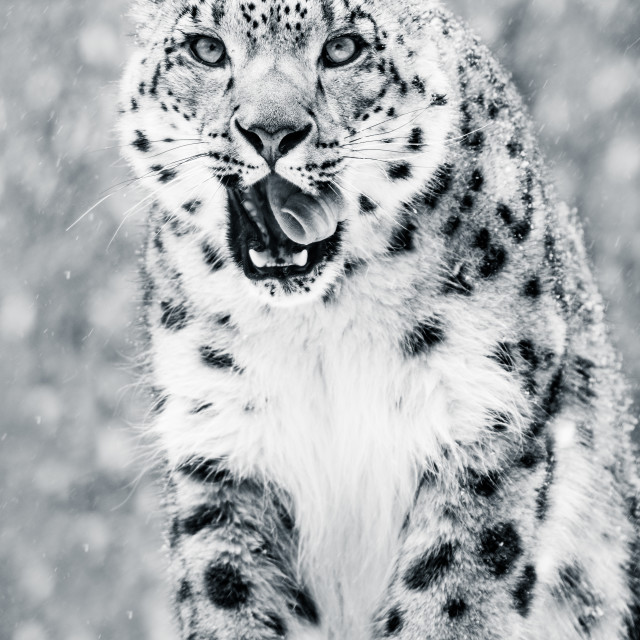 """""""Snow Leopard in Snow Storm VII BW"""" stock image"""