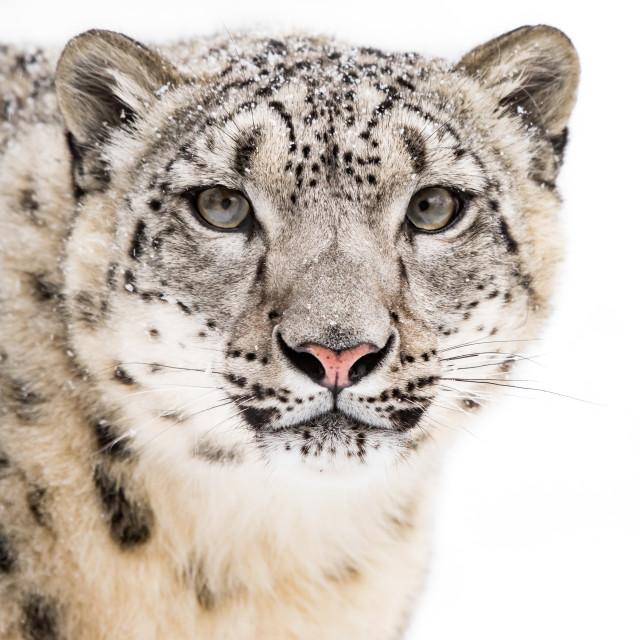 """""""Snow Leopard in Snow V"""" stock image"""